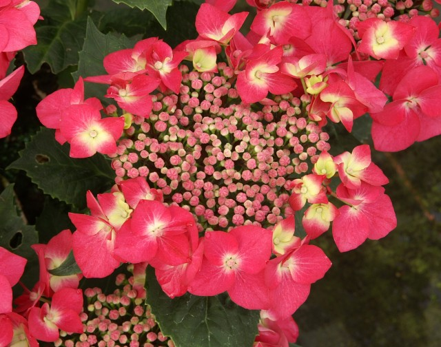 hydrangea_macrophylla_kardinal
